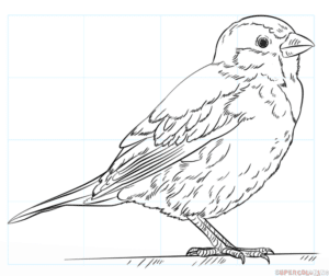 Cómo dibujar un gorrión común